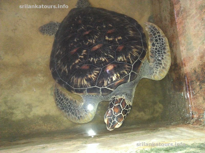 Turtle Hatchery Kosgoda